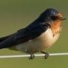 Kırlangıç Kuşu